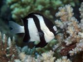foto of humbug  - Humbug dascyllus in Red sea Egypt Hurghada