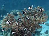 image of humbug  - Humbug dascyllus in Red sea Egypt Hurghada
