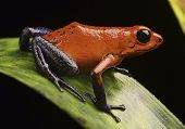 stock photo of rainforest animal  - strawberry poison arrow frog Costa Rica tropical rain forest a macro of a beautiful exotic amphibian pet animal is kept in a rainforest terrarium or vivarium - JPG