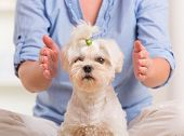 picture of maltese  - Woman doing Reiki therapy for a dog - JPG
