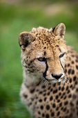 stock photo of gold tooth  - Cheetah  - JPG