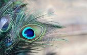 picture of feathers  - A male green and blue peacock feather feathers