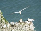 foto of gannet  - Flock of nesting Northern Gannets morus bassanus and bird in flight on cliff headland of english coastline - JPG