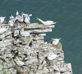 stock photo of gannet  - Flock of nesting wild Northern Gannets morus bassanus on cliff headland of english coastline - JPG