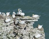 picture of gannet  - Flock of nesting wild Northern Gannets morus bassanus on cliff headland of english coastline - JPG