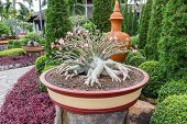 pic of desert-rose  - Adenium obesum tree or Desert rose in flowerpot - JPG