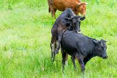 stock photo of copulation  - Black Cow Copulating In A Green Pasture - JPG