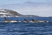 stock photo of orca  - Flock orcas or killer whales swimming along the Antarctic Islands 1