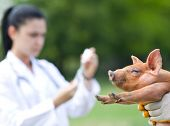 foto of piglet  - Veterinarian preparing injection to piglet on farm - JPG
