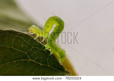 Green Caterpillar Macro