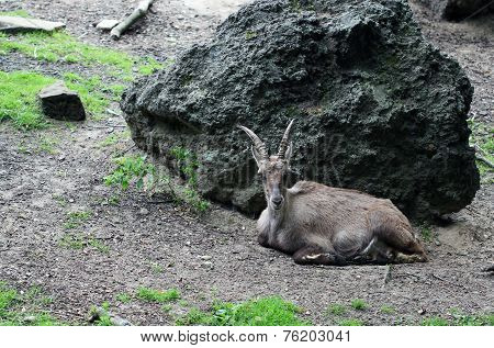 The Ibex Laying At The Big Stone