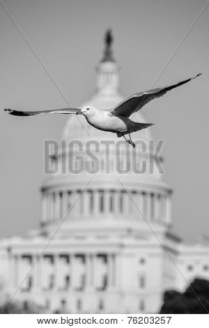 Seagull with Capitol dome background - Washington DC, USA