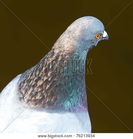 Head Of Feral Pigeon