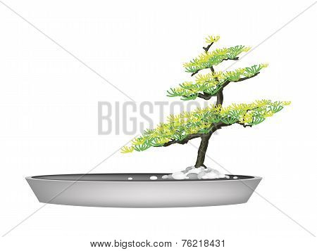 A Beautiful Fir Tree in Flower Pots