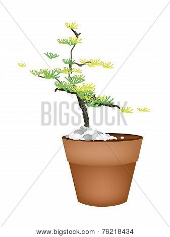 A Beautiful Spruce Tree in Flower Pots
