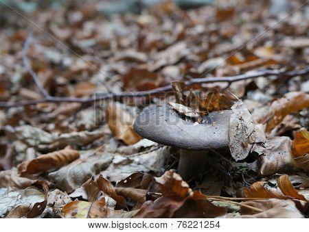 Rufous Milkcap, Lactarius rufus mushroom