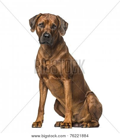 Rhodesian Ridgeback (3 years old)