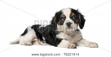 Cavalier King Charles Spaniel puppy (8 weeks old)
