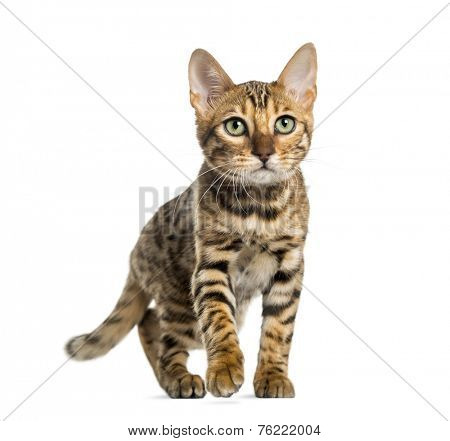 Young Bengal cat (5 months old), isolated on white