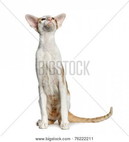Oriental Shorthair sitting, isolated on white (8 months old)