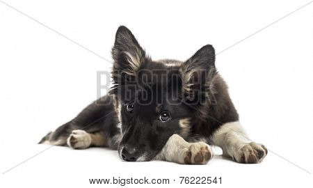 Border collie resting
