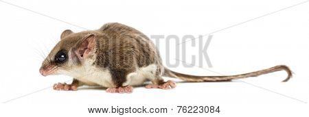 Sugar glider - Acrobates pygmaeus