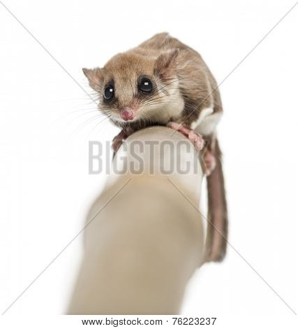 Sugar glider on a branch - Acrobates pygmaeus