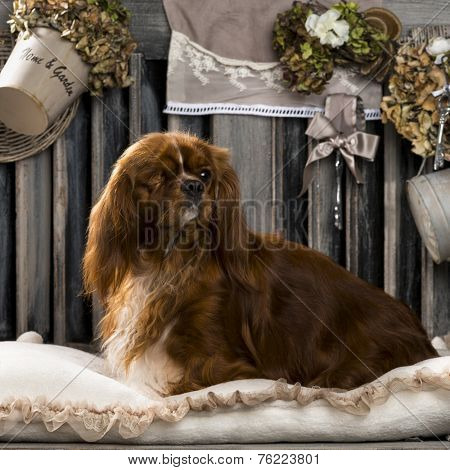 Cavalier King Charles in front of a rustic background