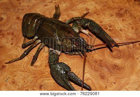 Live crayfish