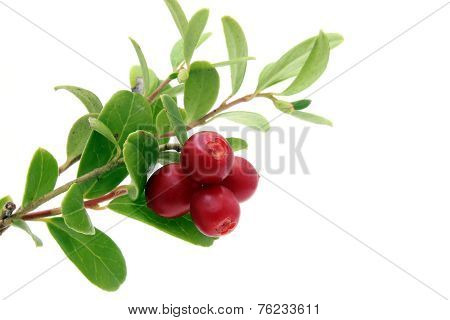 Branch Of Ripe Cowberry