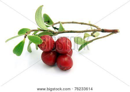 Sprig Of Ripe Cowberry