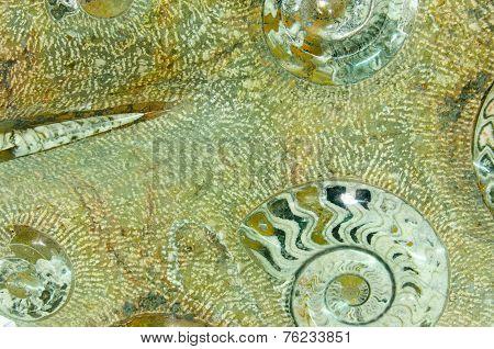 Ammonite Prehistoric Fossil