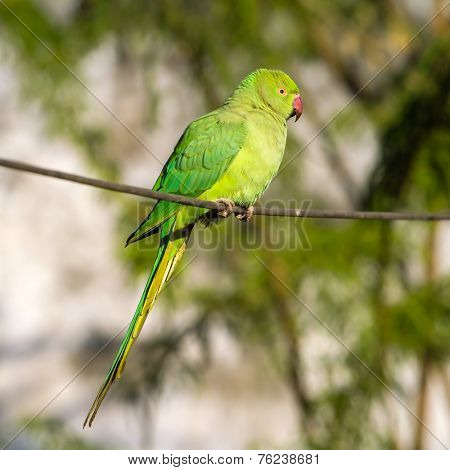 Green Indian Ringnecked Parakeet parrot on the wire