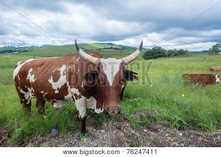 Cattle Bull Horns Portrait Closeup
