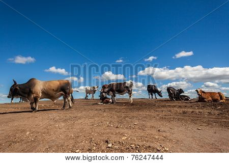 Cattle Animals Ground Soil Contrasts