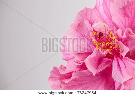 Closeup Of Beautiful Pink Hibiscus Flower With Copyspace