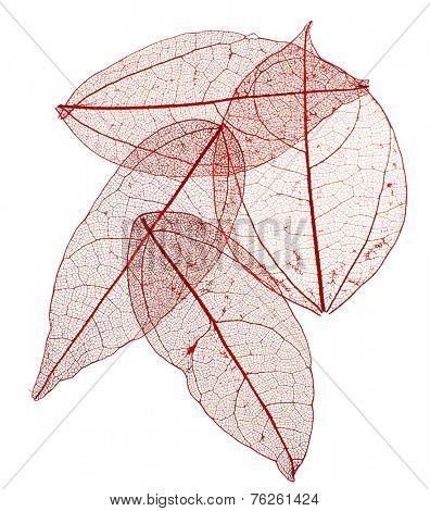 Decorative skeleton leaves isolated on white