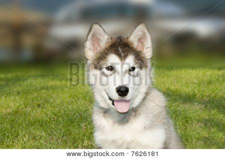 syberian husky malamute