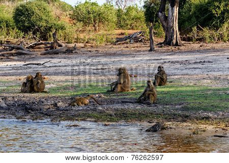 Family Of Chacma Baboon