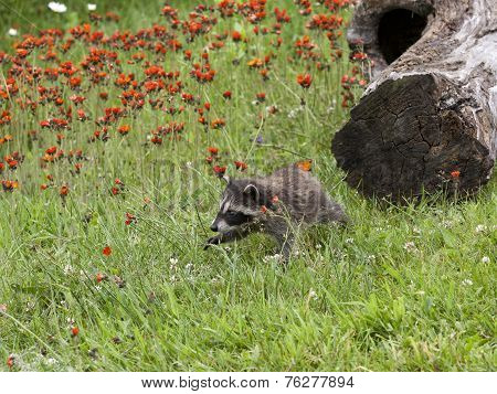 Baby Raccoon Exploring in Orange Wildflowers