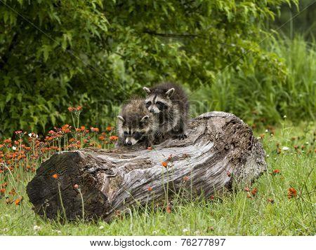 Two Raccoons Exploring a Log