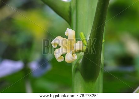 Papaya Tree With Flowers