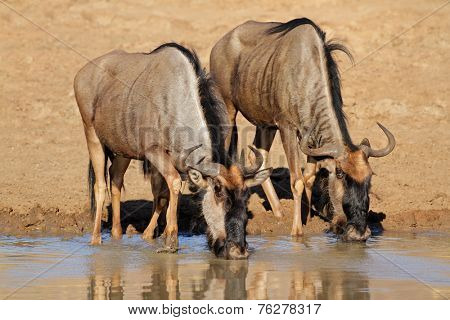 Blue wildebeest (Connochaetes taurinus) drinking water, Pilanesberg National Park, South Africa