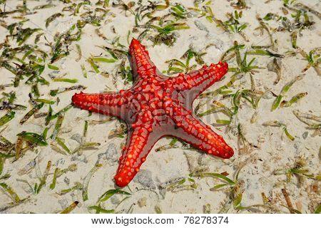 Colorful red starfish on wet sand, Zanzibar island