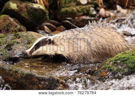 European Badger, Lat. Meles Meles, Bathing