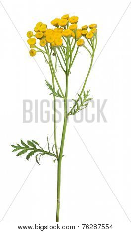 yellow tansy flowers isolated on white background