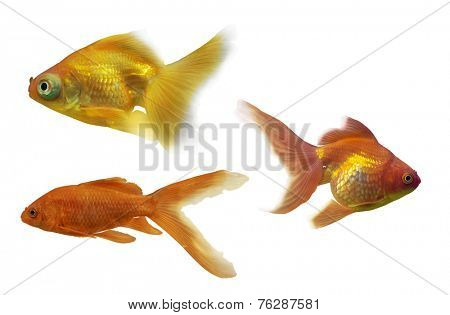 set of three goldfishes isolated on white background