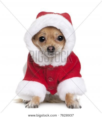Chihuahua In Santa Coat, 1 Year Old, Sitting In Front Of White Background