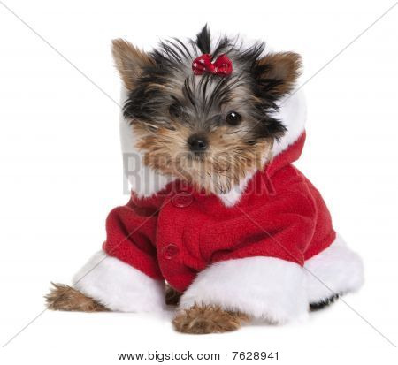 Portrait Of Puppy Yorkshire Terrier, 10 Months Old, Dressed In Santa Coat In Front Of White Backgrou