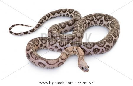 Scaleless Corn Snake Or Red Rat Snake, Pantherophis Guttatus, Against White Background